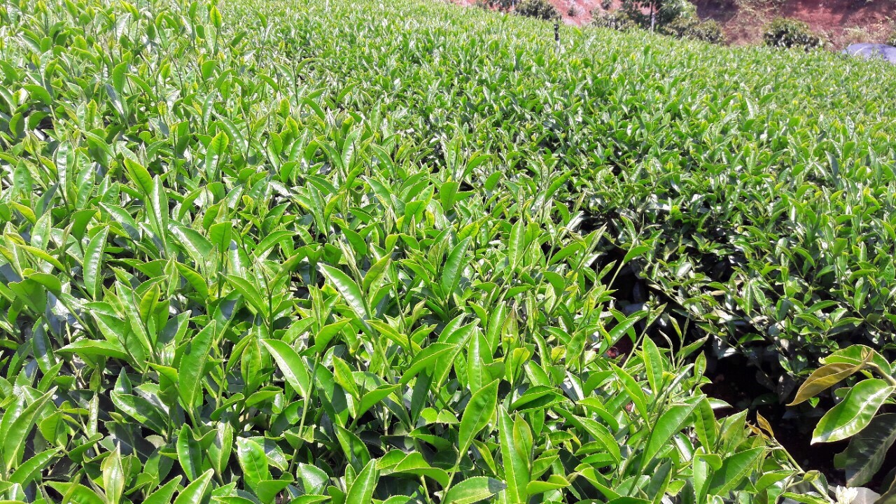 Lịch sử trà Oolong